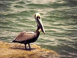 коричневый пеликан
