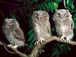 птенцы филина или совы