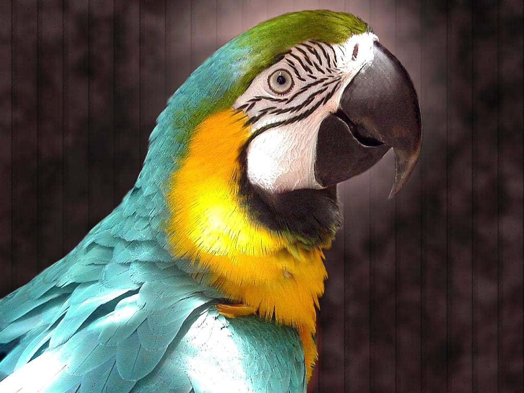 Обои птицa, Сине-жёлтый ара, Попугай. Животные foto 11