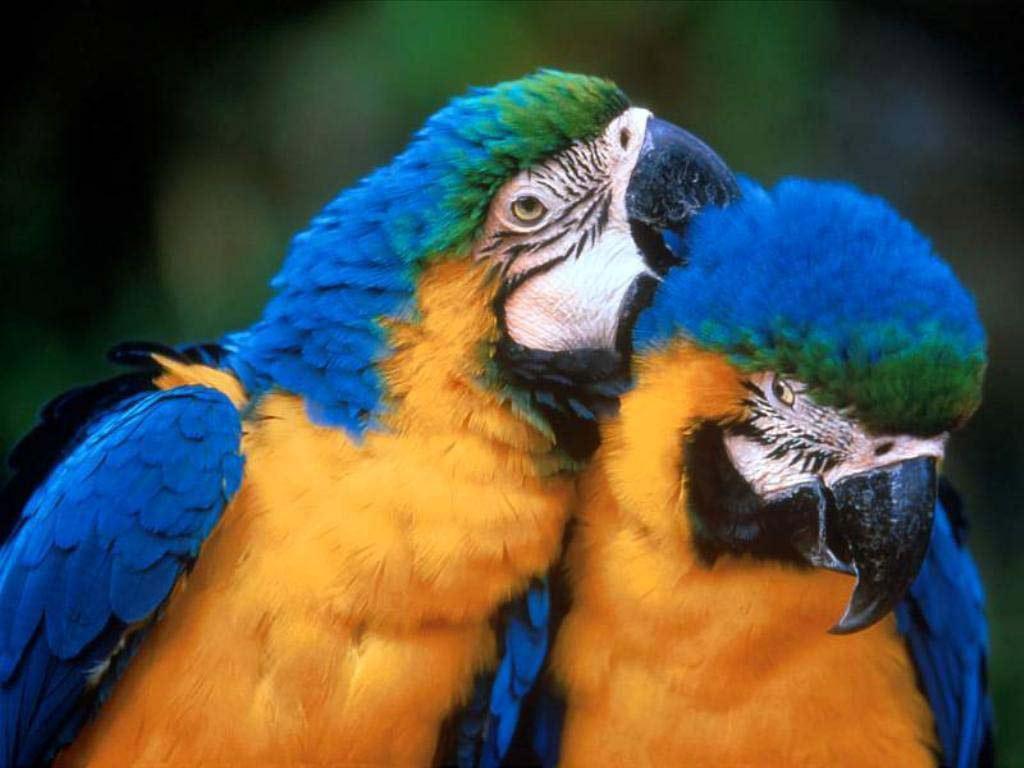 Обои птицa, Сине-жёлтый ара, Попугай. Животные foto 19
