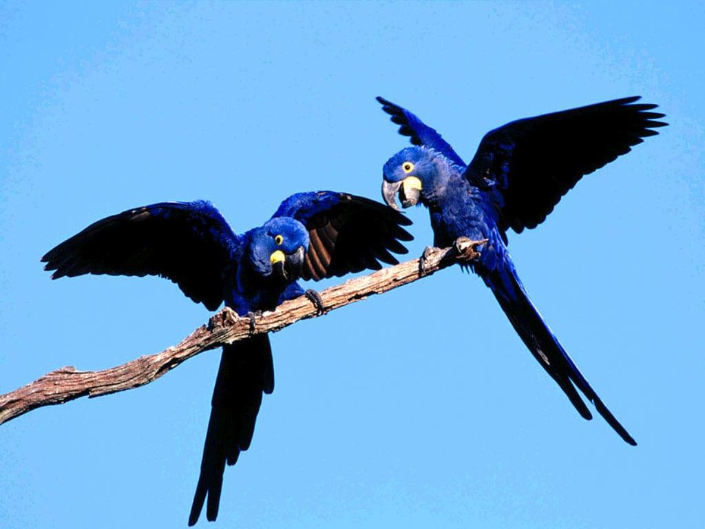 гиацинтовый ара фотообои, фото обои ...: www.zooclub.ru/fotogal/oboi/birds/69a.shtml