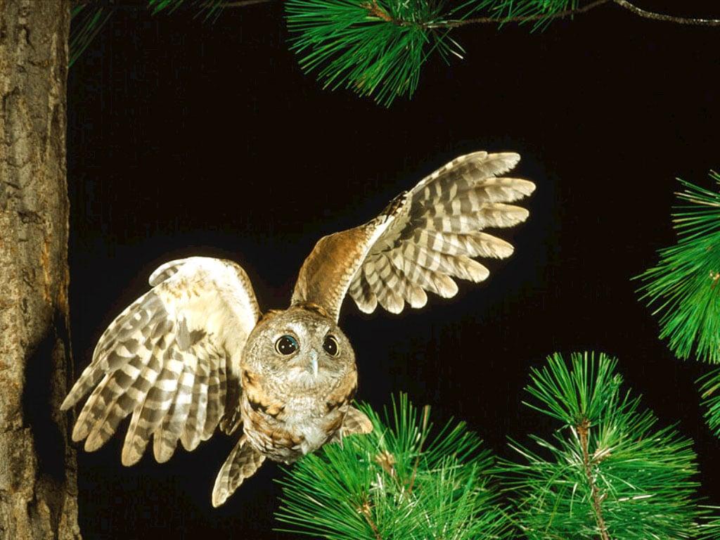Летящая сова пошаговое - 3f