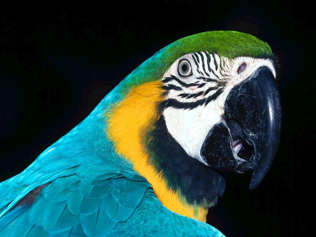 Обои птицa, Сине-жёлтый ара, Попугай. Животные foto 9