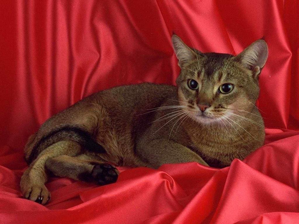 Картинки абиссинская кошка 3