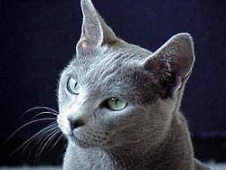 русская голубая кошка