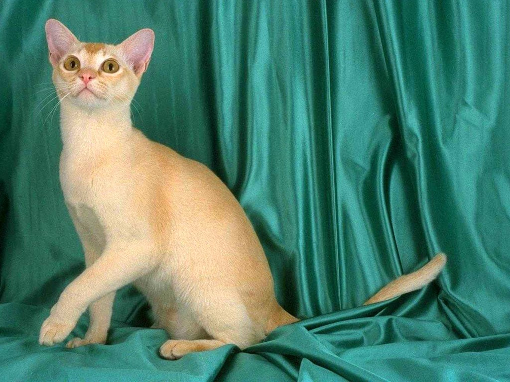 spotted bengal kittens for sale in michigan