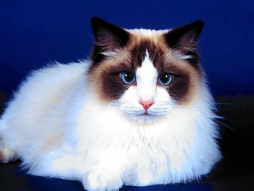 Рэгдолл, регдолл, фото породы кошек фотография изображение