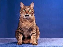 поющая кошка