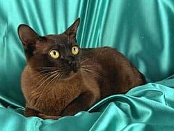 бирманская кошка, бирма