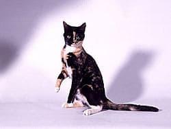 кошка черепахового окраса