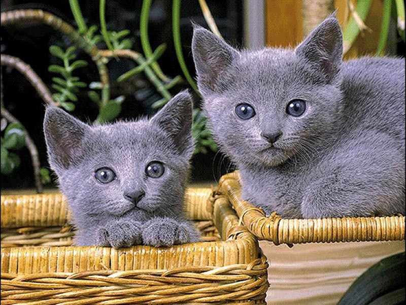 russian blue breeders association Ch Zhivago Marushka owned by the late Mrs Sheilah Garnett and bred by Fran Brain