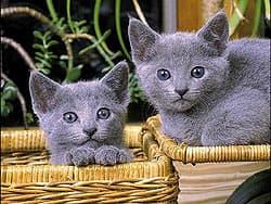 котята русские голубые
