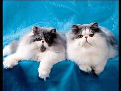 персидские кошки, персы