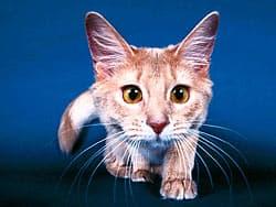смешная кошка