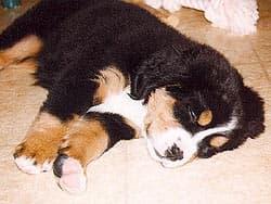 щенок бернского зенненхунда
