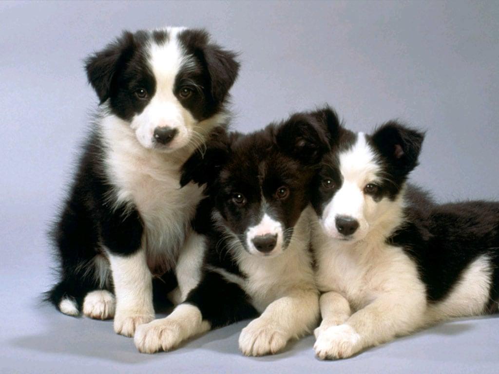 Животных → собаки фото обои → щенки