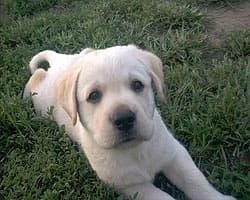 лабрадор, щенок