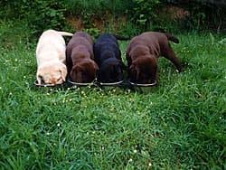 лабрадор, щенки черные, коричневые и золотые