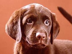 лабрадор, щенок коричневый
