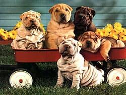 шар-пей, шарпеи щенок щенки