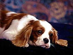 щенок кламбер-спаниеля