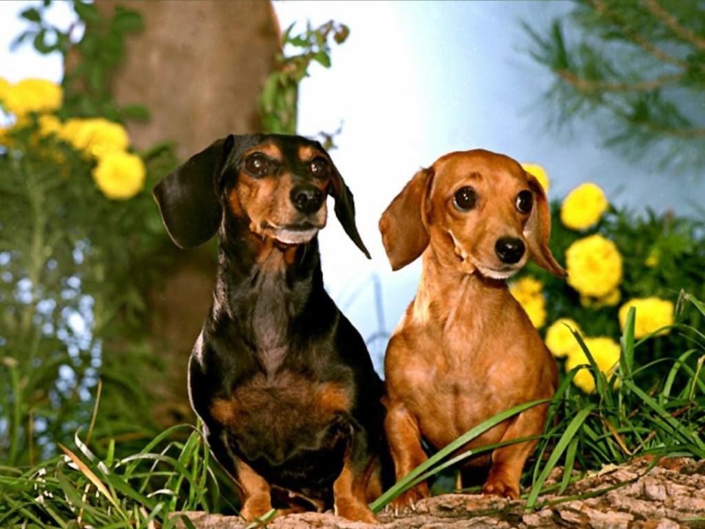 → фото → фото обои животных → собаки