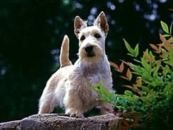 скотч-терьер, шотландский терьер
