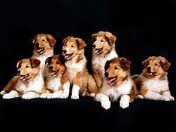 колли щенки