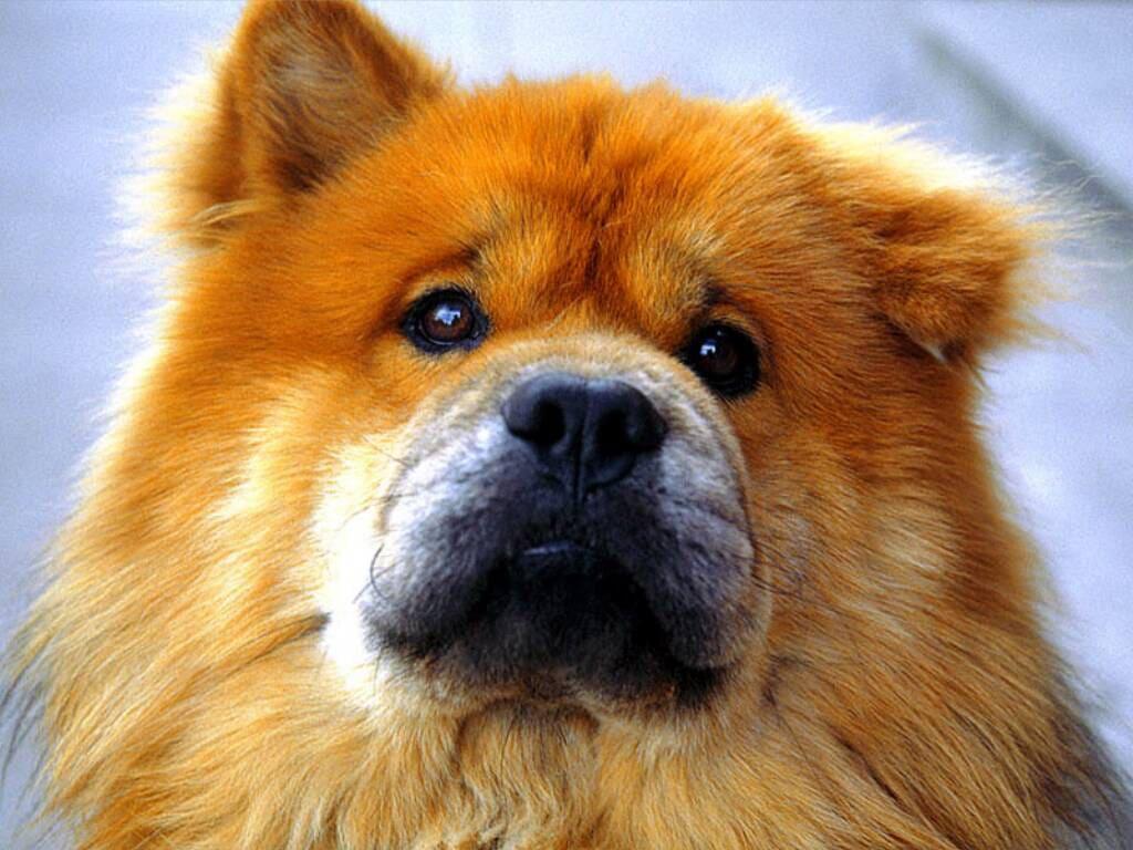 → чау чау фото собаки картинка обои