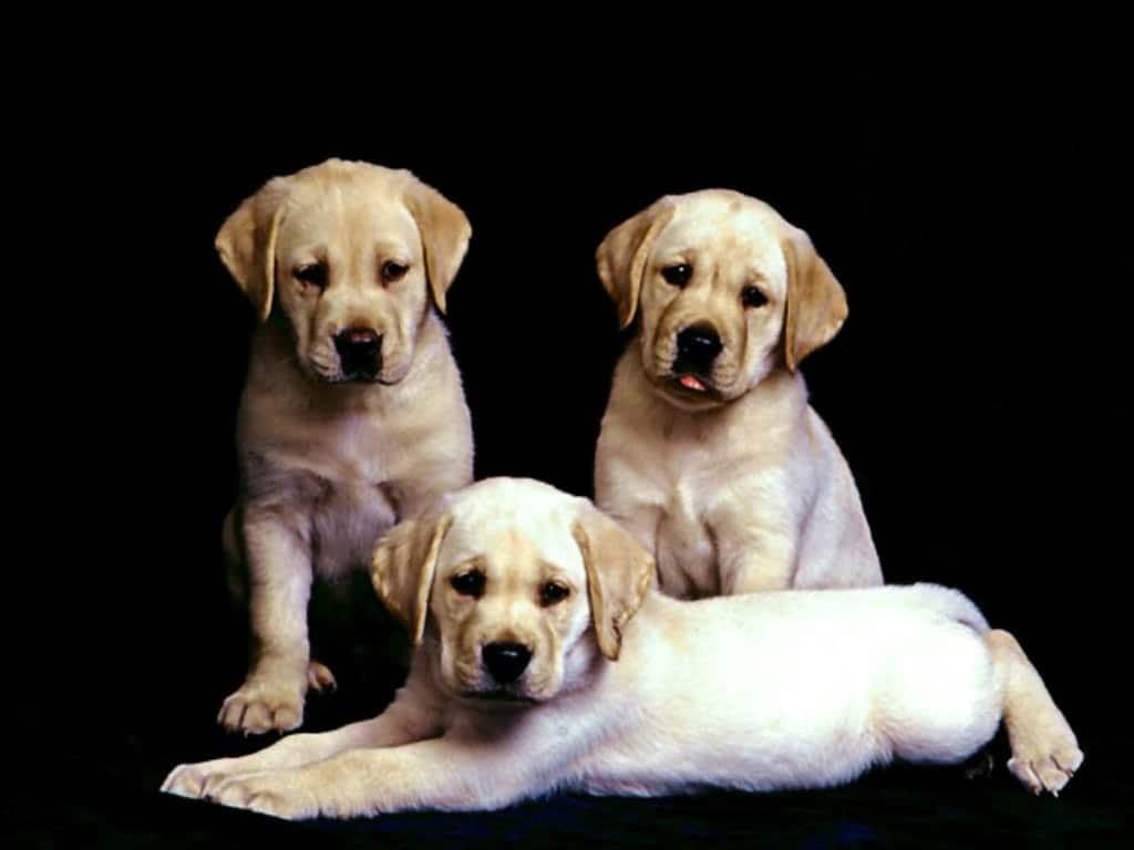 фото обои собак, фото обои щенки ...: zooclub.ru/wallpaper/13471