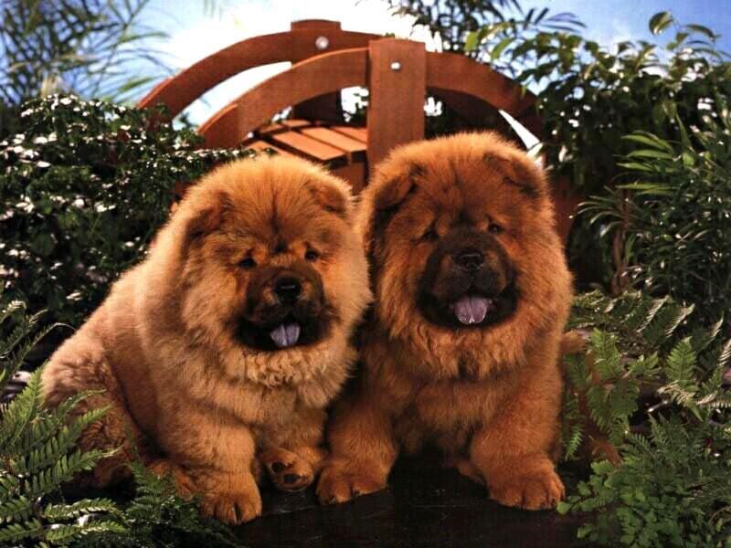 Чау-чау, фото породы собак картинка фотография