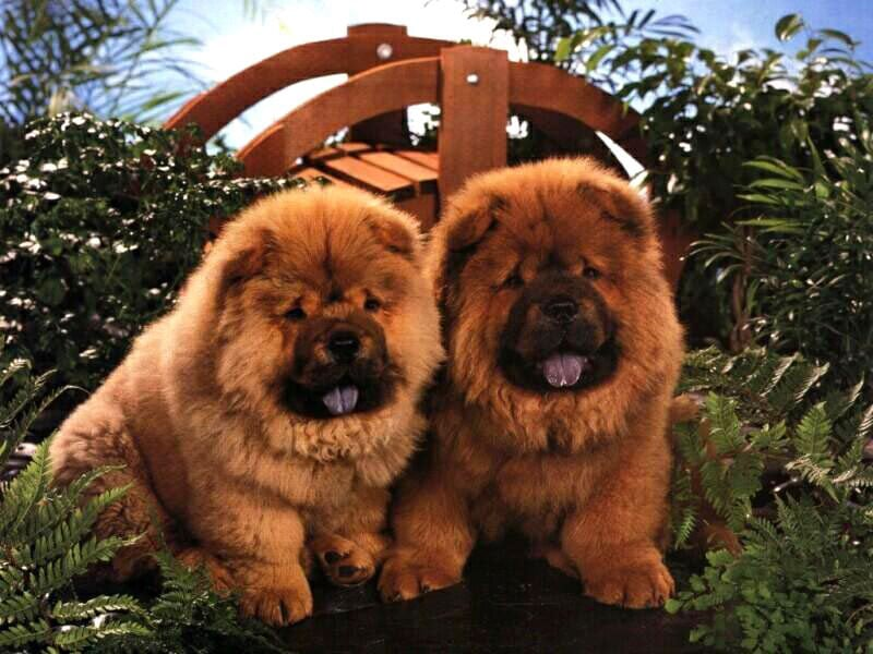 Чау чау фото породы собак картинка