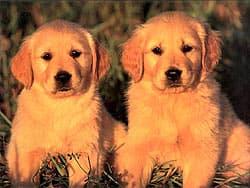 золотистый ретривер щенки