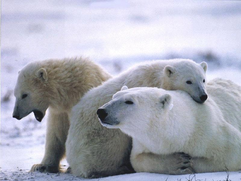 Белая медведица фото
