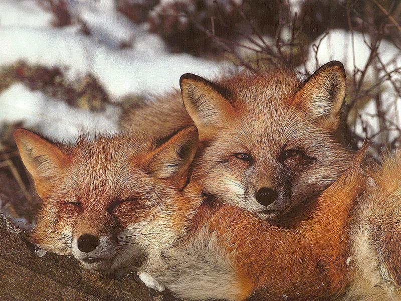 Рыжие лисы, фото фотография хищники картинка