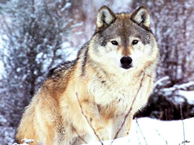 Скачать волчий вой mp3
