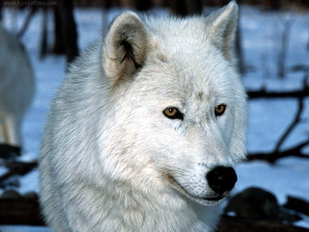 Полярный волк фотообои фото обои