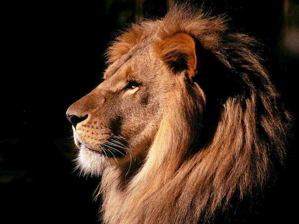 Голова льва (Panthera leo) фото картинка хищные животные