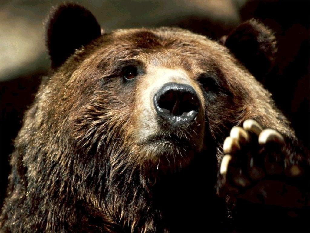 Звук медведя скачать бесплатно