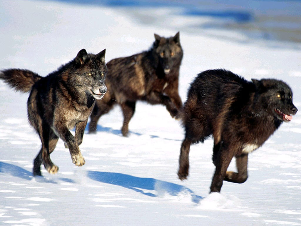 Волки фотообои фото обои фотография