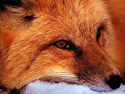 рыжая лиса, лисица