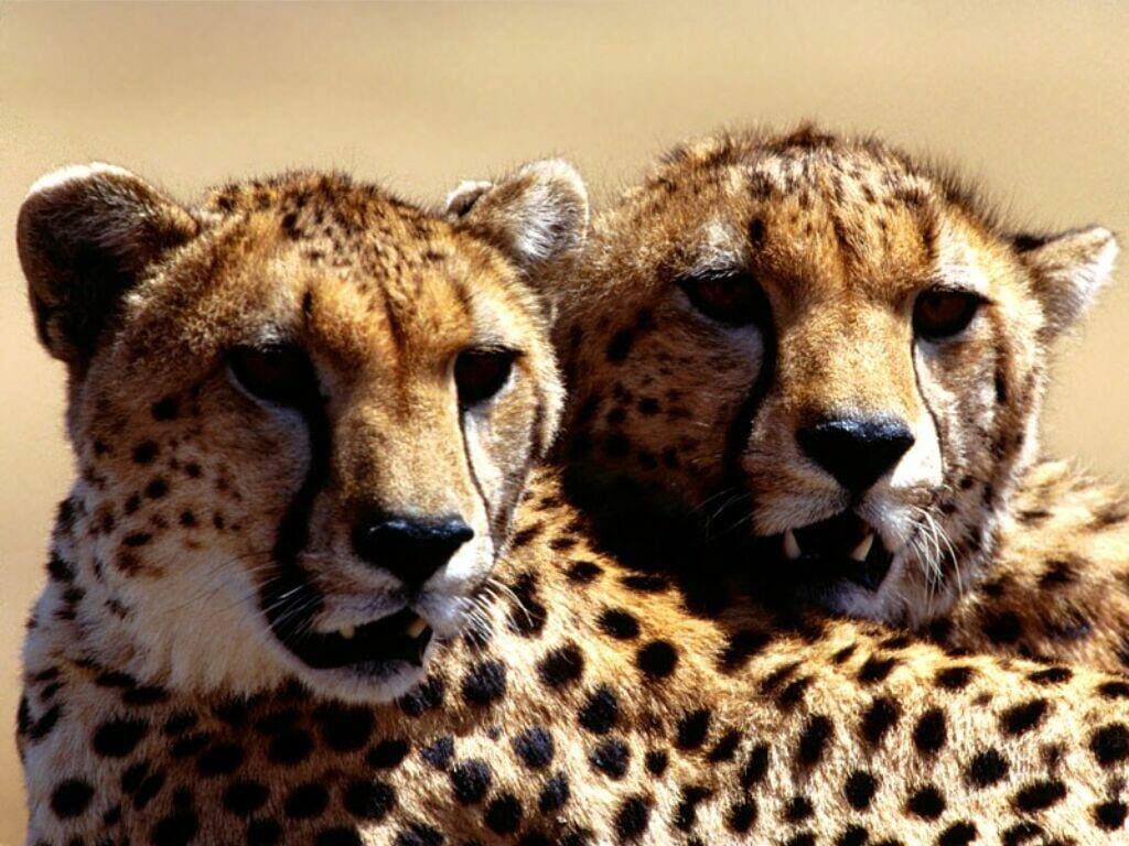 Гепарды (Acinonyx jubatus), фото дикие хищные кошки фотография картинка