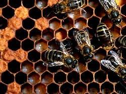 медоносные пчелы, пчелы в сотах
