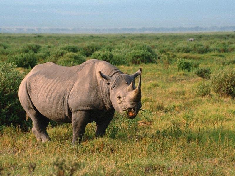 Белый носорог (Ceratotherium simum), фото непарнокопытные животные фотография