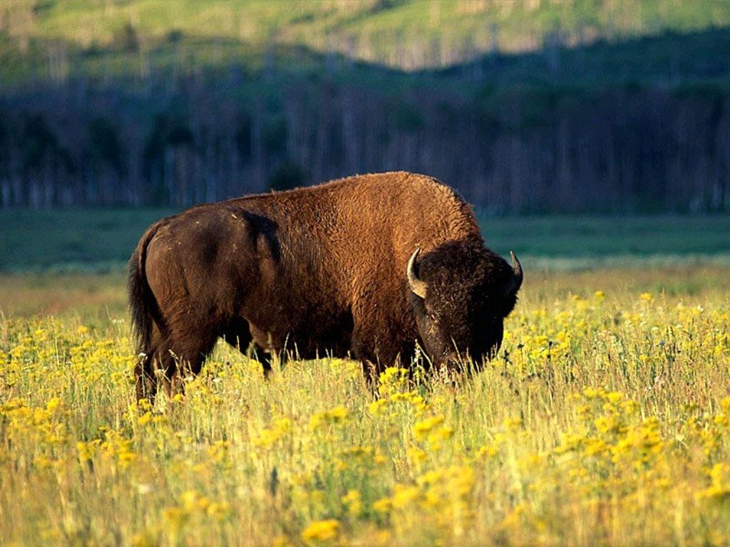Бизон (Bison bison), фото парнокопытные животные фотография быки