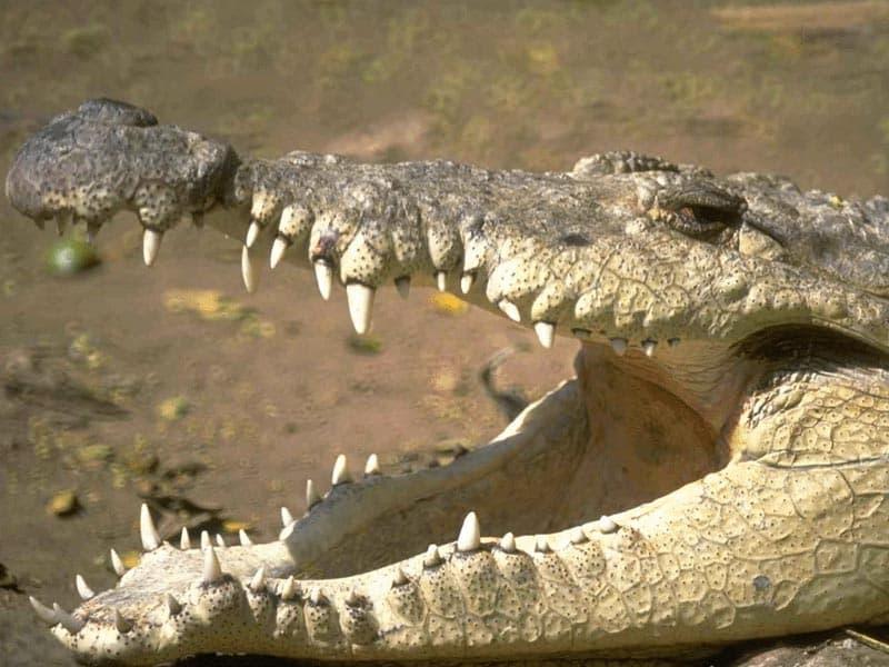 Крокодил с открытой пастью, фото рептилии картинка