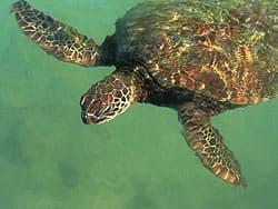 морская или зеленая черепаха