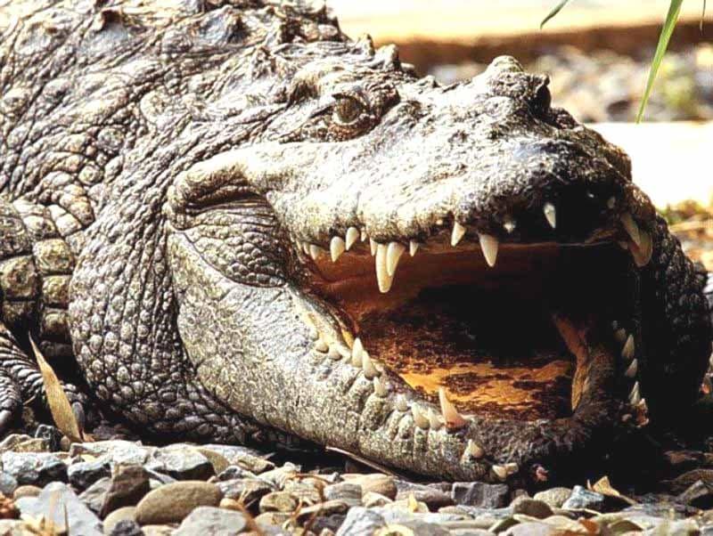 Крокодил, фото рептилии фотография