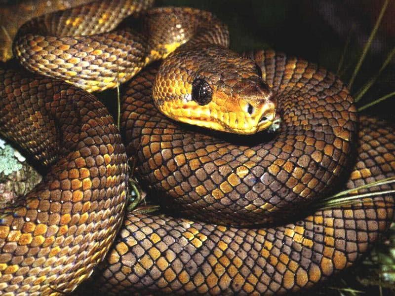 Коричневая змея, свернувшаяся в клубок, фото рептилии фотография