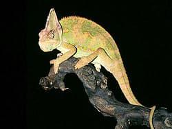 йеменский хамелеон